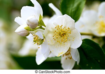 White flowers - Twig with white flowers of the Mock-orange...