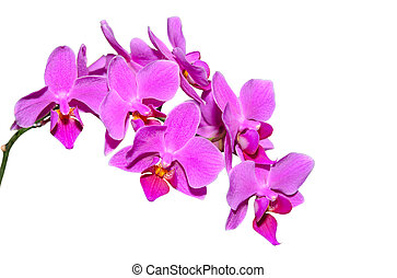 Elegant branch of exotic flowers with purple petals isolate