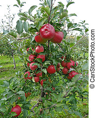 apple orchard - Beautiful red apples