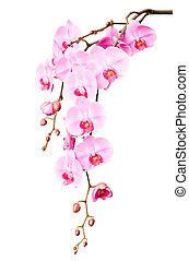 grande, hermoso, rama, rosa, orquídea, flores, brotes
