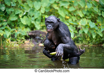 Bonobo Pan paniscus with cub in the water - Bonobo Pan...
