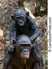 Bonobo Cub and mother - Bonobo Cub on brachiums at mother At...