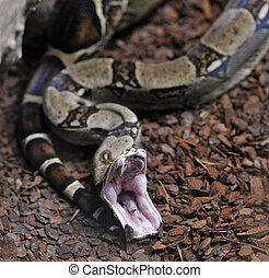 Boa constrictor - Close up view of boa constrictor opening...