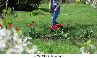 woman cut tulip garden - Woman cut red tulip flowers in...