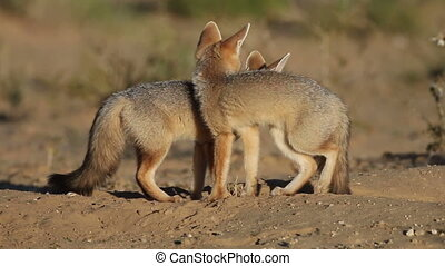 Cape foxes - Playfull Cape foxes Vulpes chama at their den,...