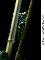New Guinea tree frog - Full view of New Guinea Tree Frog in...
