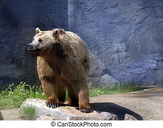 Black bear - Young adult bear in a zoo, full view. Picture...