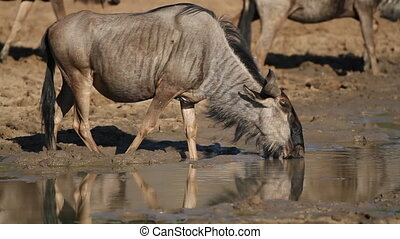 Wildebeest drinking water - A blue wildebeest (Connochaetes...