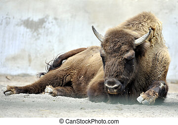 Bison - Full view of adult bison in a zoo. Picture taken in...