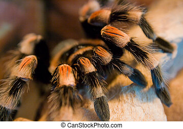 bird eating spider - a bird eating spider - brachypelma...
