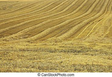 The mown cornfield