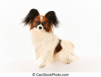 Purebred papillon dog - Portrait of papillon dog facing the...