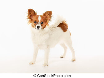 Papillon - Purebred papillon facing the camera. Isolated on...