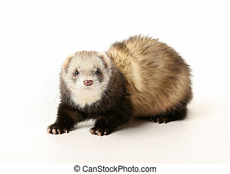 Ferret looking towards camera. Taken indoors and isolated on...