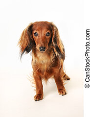 Long haired dachshund - Portrait of long haired dachshund...