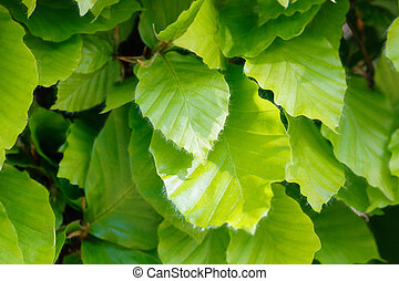 Fresh beech leaves - Close-up of new beech leaves during...