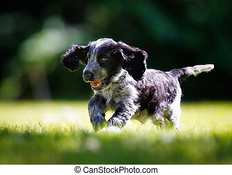 Purebred cocker spaniel - Portrait of cocker spaniel puppy...