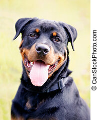 Close-up of rottweiler - Close-up of beautiful rottweiler...