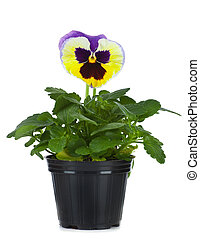 Beautiful pansies in flowerpot isolated on a white -...