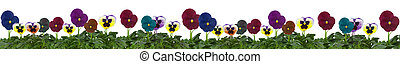Row of pansies isolated on a white - Row of beautiful...