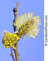pussy willows against blue sky in early spring