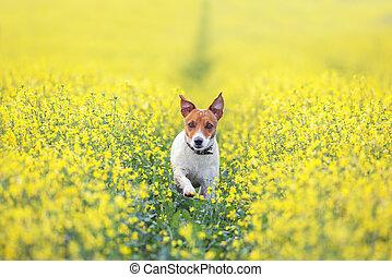 jack russel on flower meadow