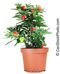 Potted Solanum Capsicastrum - Potted Solanum Capsicastrum...