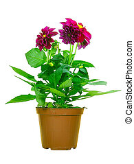 Potted Dahlia isolated over white background