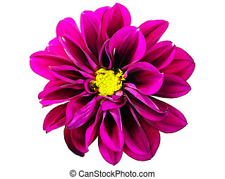 Dahlia Hortensis Flower - Isolated flower of Dahlia...
