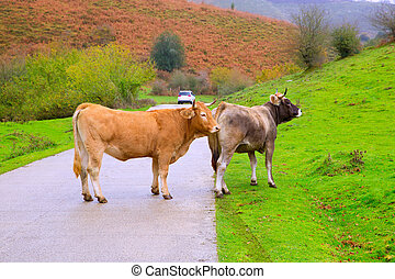 Cows in a Pyrenees road of Irati jungle at Navarra Spain