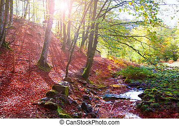 Autumn Selva de Irati beech jungle in Navarra Pyrenees Spain...