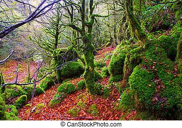 otoño, Selva, Irati, Haya, selva, Navarra, pirineos,...