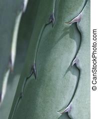 Cacti Closeup - Spikes on a cactus leaf Agave, Aloe Vera...