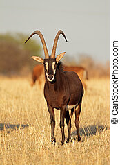 Sable antelope - Male sable antelope Hippotragus niger with...