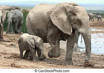 Baby African Elephant and Mom - Playful baby African...