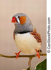 Zebra Finch male Bird - Beautiful male zebra fich bird...