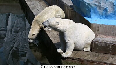 Polar bear drinking water from a pond.