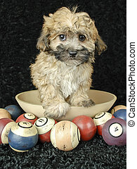 Cute Buff Puppy - Sweet buff puppy standing in a bowl with...