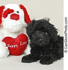 Puppy Love - Cute Black Malti-Poo puppy laying with a...
