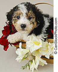 Tri Colored Puppy in Basket - Sweet tri colored puppy in...