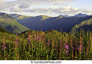 Fire weed flowers in the mountains - A view of the wild...