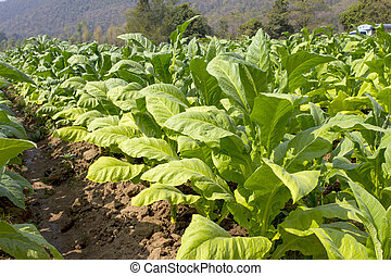 tobacco field. - tobacco rows on the field under sharp...