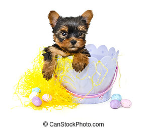 Yorkie Puppy in Easter Basket - Six week old Yorkie puppy...