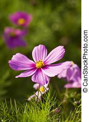 Cosmos bipinnatus - macro view of colorful beautiful bloom...
