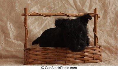 Scottish Terrier puppy in a basket