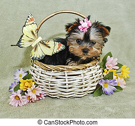 Very Cute Yorkie Puppy - Yorkie puppy sitting in a basket...