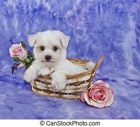 Little White Puppy - Little white puppy sitting in a basket...