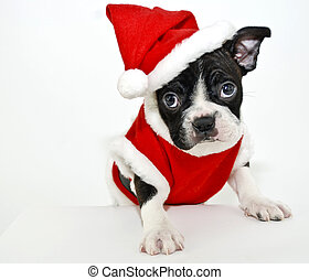 boston Terrier Wearing a Santa Suit - Christmas Boston...
