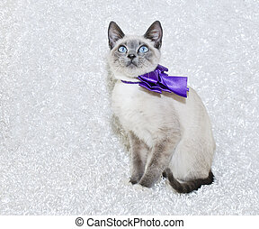 Siamese Kitten - Beautiful Siamese kitten with big blue eyes...