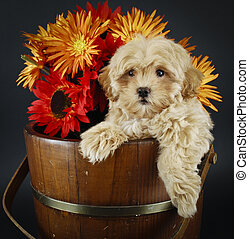 Sweet Buff Puppy With Fall Flowers - Cute Buff puppy with...